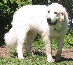 Great Pyrenees Guard Dog Male