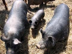 American Guinea Hogs and Piglet